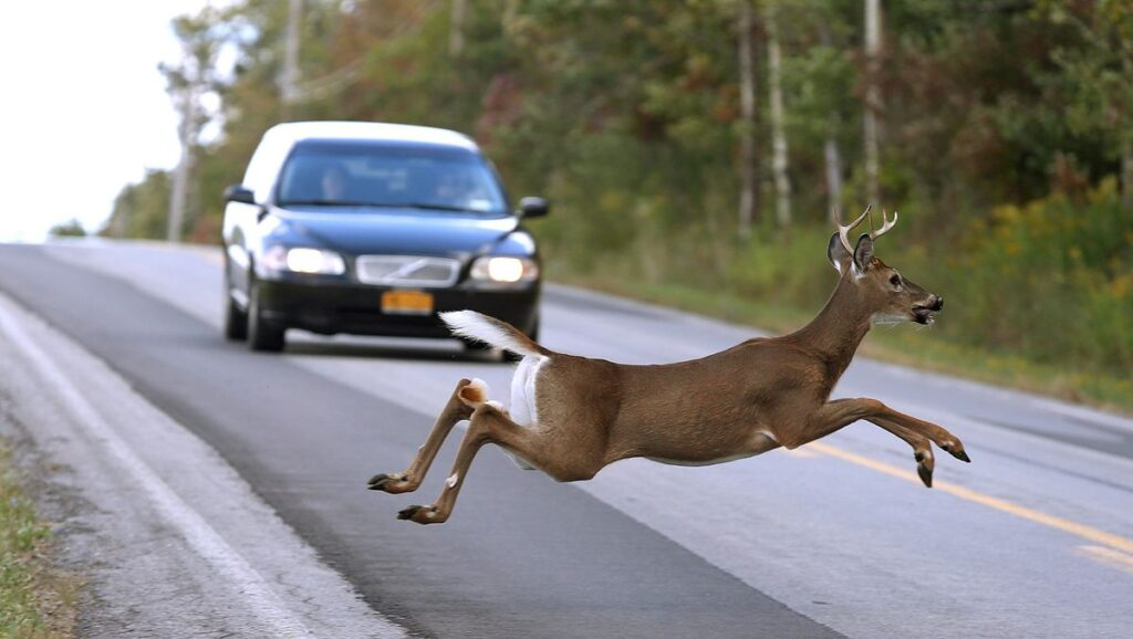 Safely Past a Deer Encounter on the Road
